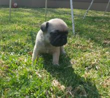 Pug Puppies for adoption. Call or text us @ (574) 216-3805