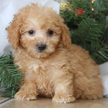 Toy Poodle puppies ready to go to their new home. Call or text us @ (574) 216-3805