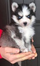 Pomsky Puppies For Adoption