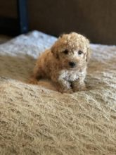 Toy Poodle Puppies For Adoption