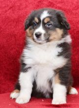 C.K.C MALE AND FEMALE AUSTRALIAN SHEPHERD PUPPIES AVAILABLE