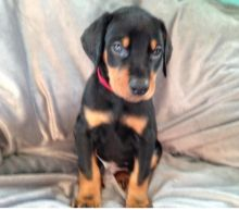 C.K.C MALE AND FEMALE DOBERMAN PINSCHER PUPPIES AVAILABLE
