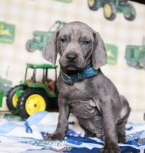 Ckc ☮ Male Female WEIMARANER PUPPIES AVAILABLE
