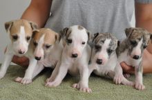 C.K.C MALE AND FEMALE ITALIAN GREYHOUND PUPPIES AVAILABLE