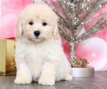 C.K.C MALE AND FEMALE MALTIPOO PUPPIES AVAILABLE