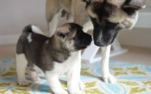 Cute And Lovely Akita Puppy For Adoption
