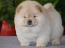C.K.C MALE AND FEMALE CHOW CHOW PUPPIES AVAILABLE