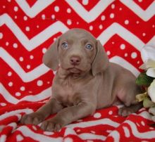 C.K.C MALE AND FEMALE WEIMARANER PUPPIES AVAILABLE