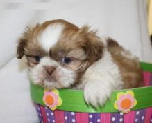Gorgeous Shih tzu puppies For Adoption