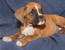 Available Boxer puppies.