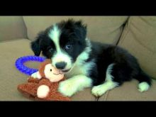 Two Lovely Border collie puppies available.