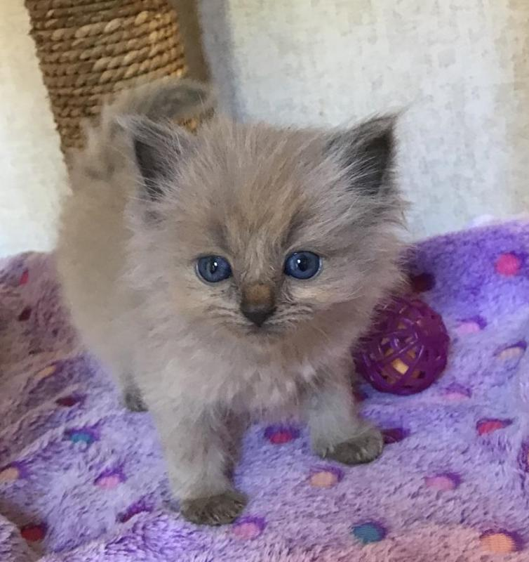 Home Raised Ragdoll Kittens. Image eClassifieds4u