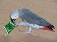 Top quality African Grey parrot Image eClassifieds4U