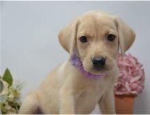 Two Lovely Labrador retriever puppies available. Image eClassifieds4U