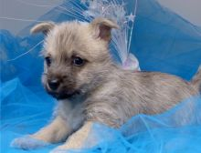 Very healthy and cute Cairn Terrier puppies Image eClassifieds4U