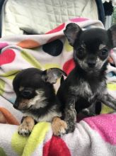 Gorgeous male and female Chihuahua puppies for great families