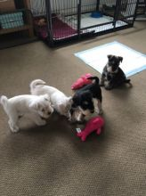 Miniature Schnauzer puppies available for loving homes