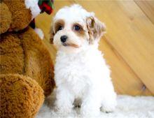 Adorable 12 week old AKC registered cavapoo puppies,
