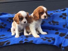 Cavalier King Charles puppies for special homes