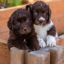 Cute Newfoundland Puppies Available