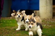 Gorgeous males and females Pembroke Welsh Corgi puppies for great families