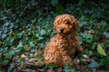 Purebred Toy Mini Poodle puppies set for adoption