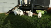Set of clean and special Japanese Spitz puppies for adoption