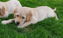 Beautiful and adorable Golden Retriever puppies for adoption..
