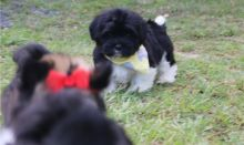 Non-Shedding Havanese puppies for great homes