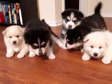 Pomsky Puppies available,updated on vaccines, KC registered and will come with full pedigree