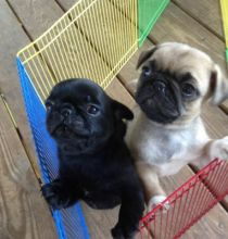 Purebred Pug Puppy for adoption