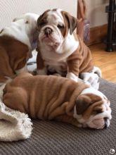 RE HOMING:❤️❤️❤️Stunning English Bulldog Puppies❤️❤️❤️
