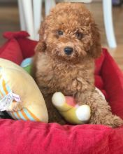 Charming Ckc Toy Poodle Puppies Available [ justinmill902@gmail.com]