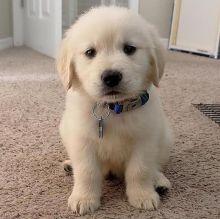 Fantastic Ckc Golden Retriever Puppies Available