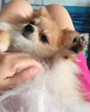 Staggering Ckc Pomeranian Puppies Available [ justinmill902@gmail.com]