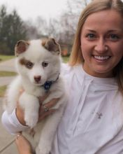 Energetic Ckc pomsky Puppies Available