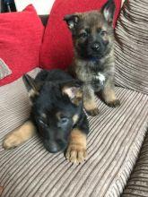 Offering: Outstanding German Shepherd Pups