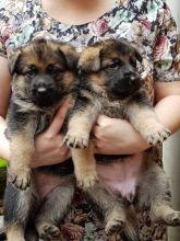 Offering: Outstanding German Shepherd Pups Image eClassifieds4u 2