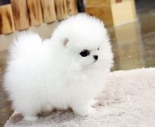 Amazing Ice White Tea Cup Pomeranian Puppies