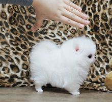 Gorgeous flat baby faces Pomeranian puppies
