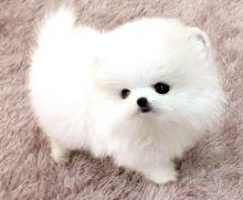 Gorgeous Ice White Tea Cup Pomeranian Puppies