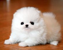 prettiest Pomeranian puppies