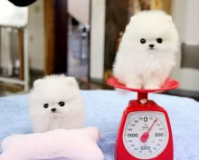 Total Luxury Ice White Tea Cup Pomeranian Puppies