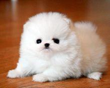 very nice pomeranian puppies