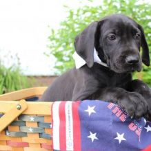 Great Dane puppies for all