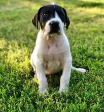 Attractive male and female Great Dane puppies