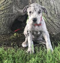 charming Great Dane puppies