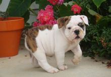 English Bulldog Puppies for Adoption Email at [templetonlesly10@gmail.com]
