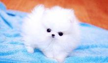 Gorgeous tea cup Pomeranian puppies