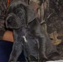 great companion Great Dane puppies